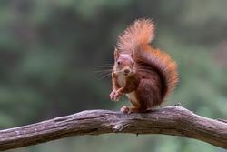 Eurasian red squirrel (Sciurus vulgaris) eating a hazelnut on a branch. Tessenderlo, Belgium. Green bokeh background.