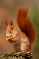 Eurasian red squirrel, sciurus vulgaris, in autmn forest in warm light. Wildlife scenery with vivid colors. Cute little animal feeding.