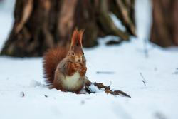 Eurasian red squirrel (Sciurus vulgaris) is sitting in the snow