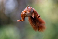 Eurasian red squirrel (Sciurus vulgaris) jumping in the forest of Noord Brabant in the Netherlands. Green background.