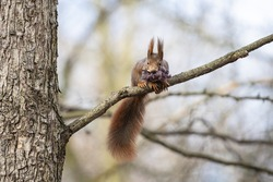 Eurasian red squirrel with material for building a drey in its mouth. Cute fluffy squirrel with ear tufts collects wool fibres to insulate the nest and keep it warm.