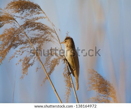 Eurasian reed warbler, Acrocephalus scirpaceus, in reed natural environment, under warm evening light