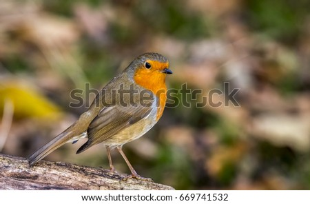 Eurasian Robin sitting on a log looking over to it's right. Robins are associated as a Christmas bird, due to their red colouring. Also recently the Robin has been voted as Britains favourite bird. Stock fotó ©