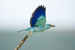 Eurasian Roller taking flight;  coracias garrulus; South Africa