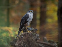Eurasian sparrow hawk, Accipiter nisus, sitting on tree in the autumn forest. Wildlife animal from nature. Bird in the autumn forest habitat.