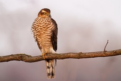 Eurasian sparrowhawk, accipiter nisus, resting on branch in autumn. Strong female bird of prey with long tail sitting on twig with copyspace. Feathered predator looking on bough with space for text.