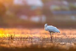 Eurasian Spoonbill in the first rays of light, with beautiful light