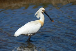 Eurasian Spoonbill or Common Spoonbill (Platalea leucorodia) foraging for food, Wagejot nature reserve, Texel, West Frisian Islands, province of North Holland, The Netherlands