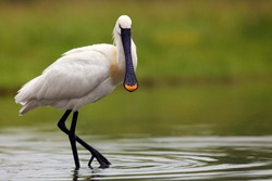 Eurasian spoonbill or common spoonbill (Platalea leucorodia) standing in a pond on a green background.Large white water bird on a green background.