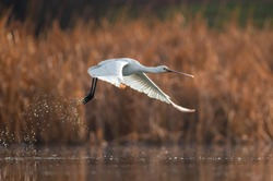 Eurasian spoonbill (Platalea leucorodia) lifting off above the shallow water splashing with spreaded wings in front of dry reeds in the background on a sunny and warm winter day in the wetland.
