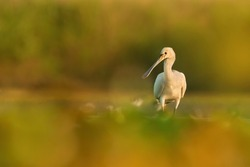 Eurasian spoonbill (Platalea leucorodia), with beautiful orange background. Colourful water bird with white feathers in the lake. Wildlife scene from nature, Hungary