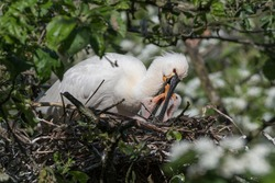 Eurasian spoonbill (Platalea leucorodia) with three young spoonbills on the nest. Five days old. They are well fed by the parents and they grow quickly Photographed in the Netherlands.
