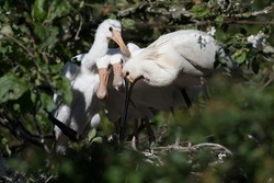 Eurasian spoonbill (Platalea leucorodia) with three young spoonbills on the nest. Four weeks old. Photographed in the Netherlands.
