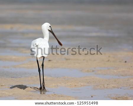 Eurasian Spoonbill walking