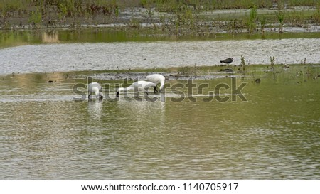 Eurasian spoonbills in a pool in the marsh, foraging for food, selective focus - Platalea leucorodia #1140705917