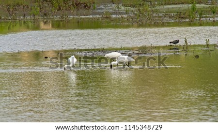 Eurasian spoonbills in a pool in the marsh, foraging for food, selective focus - Platalea leucorodia #1145348729
