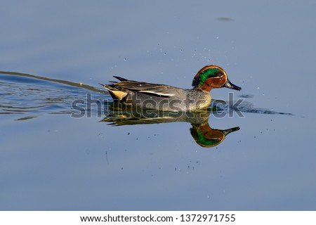 Eurasian teal or common teal.  Scientific name: Anas crecca #1372971755
