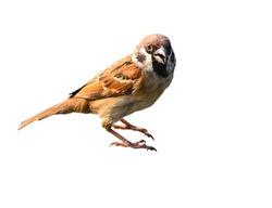 Eurasian Tree Sparrow Bird isolate on white background