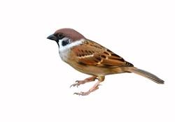 Eurasian Tree Sparrow bird on white background