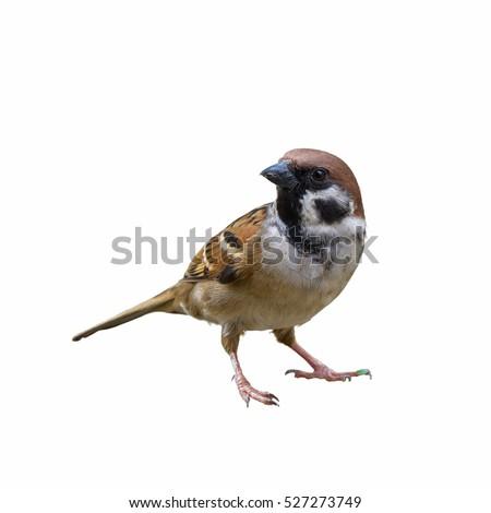 eurasian tree sparrow or passer ...