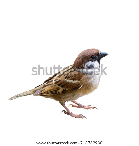 Eurasian Tree Sparrow or Passer montanus, beautiful brown bird isolated standing on ground with white background, Thailand.