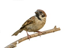 Eurasian Tree Sparrow(Passer montanus), beautiful brown bird isolated perching on branch with white background.