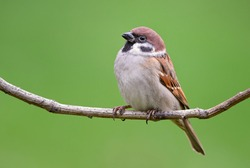 Eurasian Tree Sparrow - Passer montanus, common perching bird from European gardens and woodlands, Zlin, Czech Republic.