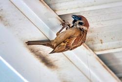 Eurasian tree sparrow (Passer montanus) nesting under a roof