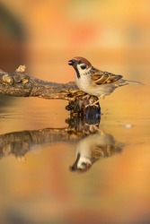 Eurasian tree sparrow, passer montanus, sitting on branch in pond in autumn. Little songbird singing on bought with reflection in water. Small brown feathered animal tweeting on twig.