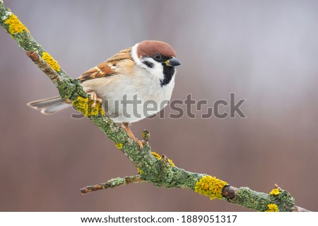 Eurasian tree sparrow (Passer montanus), small brown bird sitting on the branch. First snow with animals. Little songbird looking for some meal. Wild scene from nature. Branch overground with moss.