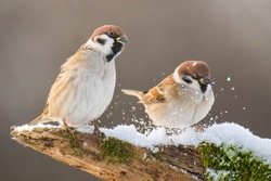 Eurasian tree sparrow (Passer montanus). Two bird standing on snowy root. Brown diffuse background. Brown birds with white and black details. Snowflakes in the air. Scene from wild nature. Garden bird