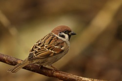 Eurasian tree sparrow sitting on the branch. Song bird in the nature habitat. Passer montanus