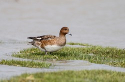 Eurasian wigeon Female.The Eurasian wigeon, also known as widgeon is one of three species of wigeon in the dabbling duck genus Mareca. It is common and widespread within its Palearctic range.