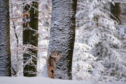 Eurasian wild cat in wild nature habitat, Czech, Europe. Lynx lynx.