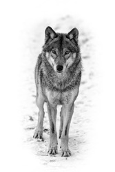 Eurasian wolf black and white