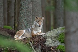 Eurasian wolf, canis lupus lupus, hiding in the forest. Europe nature. Wolf lying down in nature. Successful predator in the forest. Pack with offspring. Rare predator in European nature
