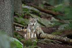 Eurasian wolf, hiding in the forest. Wolf during morning rest. Europe nature. Successful predator in the forest. Rare predator in European nature