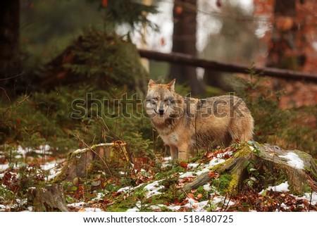 stock-photo-eurasian-wolf-in-the-winter-