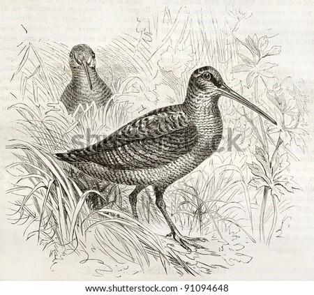 Eurasian Woodcock old illustration (Scolopax rusticola). Created by Kretschmer and Scmhid, published on Merveilles de la Nature, Bailliere et fils, Paris, ca. 1878