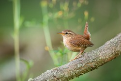 Eurasian wren, troglodytes troglodyte, resting on wood in summertime nature. Little bird observing on tree in summer. Feathered brown animal sitting on branch.