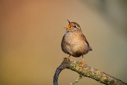 Eurasian Wren (Troglodytes troglodytes) singing on the branch, very small brown bird, the only member of the wren family Troglodytidae found in Eurasia and Africa (Maghreb).