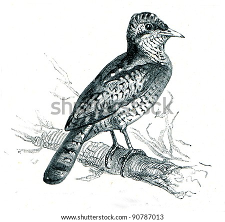 Eurasian Wryneck - Jynx torquilla - an illustration of the encyclopedia publishers Education, St. Petersburg, Russian Empire, 1896