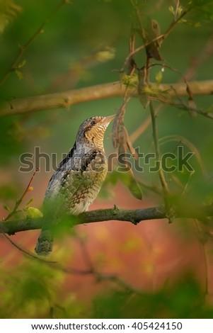 Eurasian Wryneck - Jynx torquilla sitting on the branch #405424150