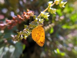 Eurema hecabe butterfly on leaf in indian village garden image grass yellow insect