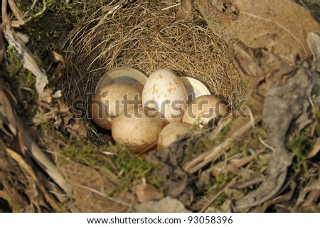 Euro coins in amongst a bird's nest to illustrate a savings plan. Focus on coins.