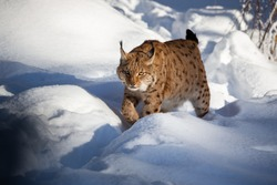 Euroasian lynx face to face in the bavarian national park in eastern germany, european wild cats, animals in european forests, lynx lynx