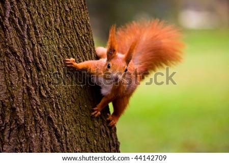 Euroasian red squirrel