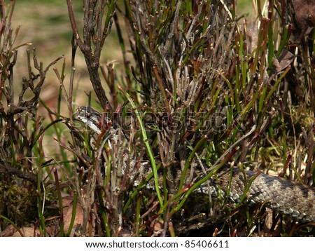European adder crawling through a bilberry bush