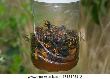 European and Asian hornet trap Photo stock ©