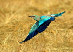 European and Indian rollers in wildlife reserves and wetlands